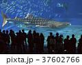 ジンベイザメ 魚 水族館の写真 37602766