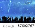 ジンベイザメ 魚 水族館の写真 37602767