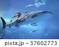 ジンベイザメ 魚 水族館の写真 37602773