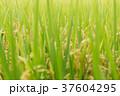 稲穂 雨に濡れた稲(9月) 37604295