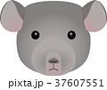 チンチラ 37607551
