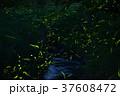 ホタル ゲンジボタル 水辺の写真 37608472