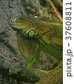 グリーンイグアナ 37608811