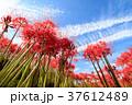 ヒガンバナ 彼岸花 花の写真 37612489