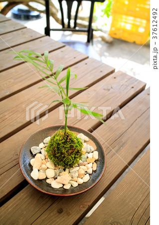 苔盆栽 37612492