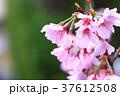 桜 サクラ 花の写真 37612508