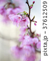 桜 サクラ 花の写真 37612509