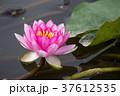 睡蓮 すいれん 池の写真 37612535
