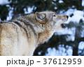 シンリンオオカミ 遠吠え 旭山動物園の写真 37612959