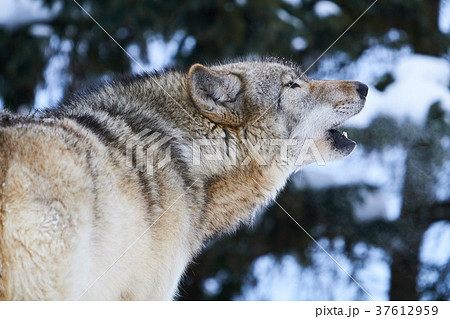 シンリンオオカミの遠吠え 37612959