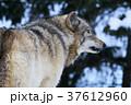 冬のシンリンオオカミ 37612960