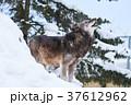 シンリンオオカミ 遠吠え 旭山動物園の写真 37612962