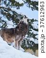 シンリンオオカミ 遠吠え オオカミの写真 37612963