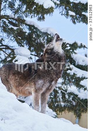 シンリンオオカミの遠吠え 37612963