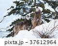 シンリンオオカミ 遠吠え 旭山動物園の写真 37612964