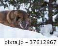 シンリンオオカミ 旭山動物園 動物の写真 37612967