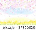桜 菜の花 春のイラスト 37620625