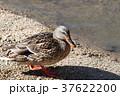 冬鳥 川 鳥の写真 37622200