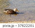 冬鳥 川 鳥の写真 37622201