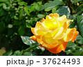 花 バラ ソレイユ・デュ・モンドの写真 37624493