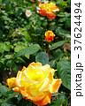 花 バラ ソレイユ・デュ・モンドの写真 37624494