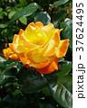 花 バラ ソレイユ・デュ・モンドの写真 37624495