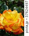バラ ソレイユ・デュ・モンド 黄色の写真 37624497