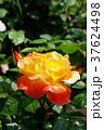 バラ ソレイユ・デュ・モンド 黄色の写真 37624498