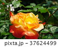 バラ ソレイユ・デュ・モンド 黄色の写真 37624499