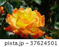 バラ ソレイユ・デュ・モンド 黄色の写真 37624501