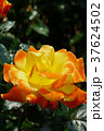 バラ ソレイユ・デュ・モンド 黄色の写真 37624502