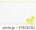 菜の花 蝶 モンシロチョウのイラスト 37626781