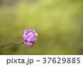 シデコブシ 幣辛夷 花の写真 37629885