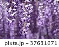 満開の藤の花 37631671