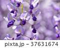 満開の藤の花 37631674