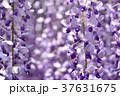 満開の藤の花 37631675