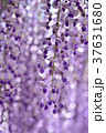 満開の藤の花 37631680