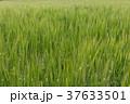 ビール麦 麦畑(4月) 37633501