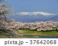 白石川堤 一目千本桜 桜の写真 37642068