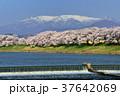 白石川堤 一目千本桜 桜の写真 37642069