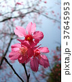 桜 さくら サクラの写真 37645953