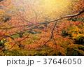 日本 紅葉 赤の写真 37646050