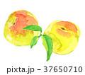 梅 実 水彩のイラスト 37650710