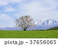 小岩井農場の一本桜 37656065
