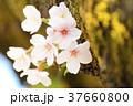 桜 ソメイヨシノ 春の写真 37660800