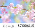 桜 枝垂れ桜 春の写真 37660815