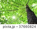 新緑 スズカケノキ 背景の写真 37660824