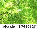 新緑 トウカエデ 背景の写真 37660825