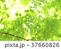 新緑 背景 葉の写真 37660826