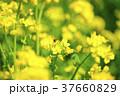 菜の花 ミツバチ 春の写真 37660829